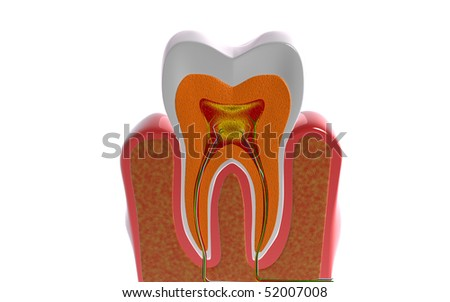 Digital illustration of teeth cross section  in isolated  background