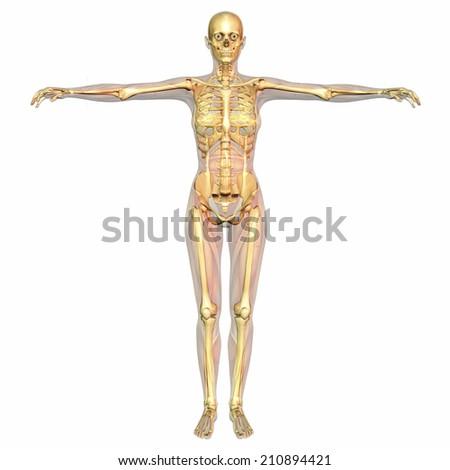 Digital visualization of human anatomy - stock photo
