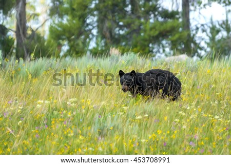 Digitally hand painted black bear in a wildflower meadow in Yellowstone National Park. Original photo taken by me.  - stock photo