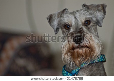 Dignified miniature schnauzer dog - stock photo