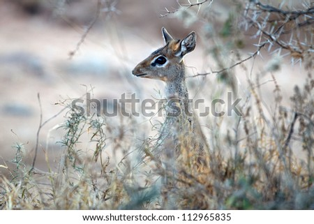 Dik Dik - stock photo