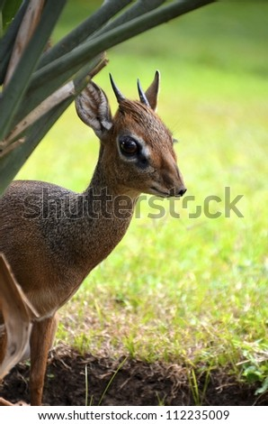 Dik-Dik Antelope - stock photo