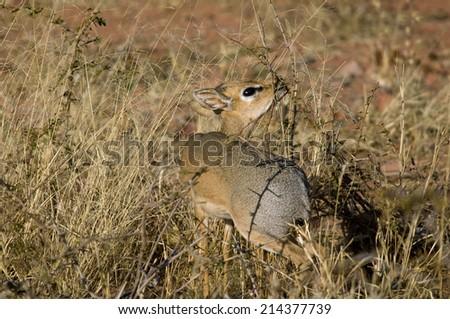 Dik Dik antelope - stock photo