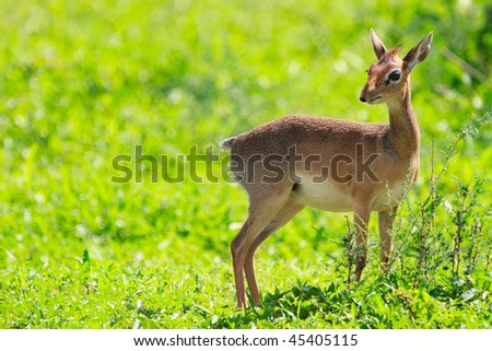 Dik dik antelope in Tarangire national park in Tanzania - stock photo