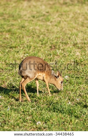 Dik-dik antelope on grass - stock photo