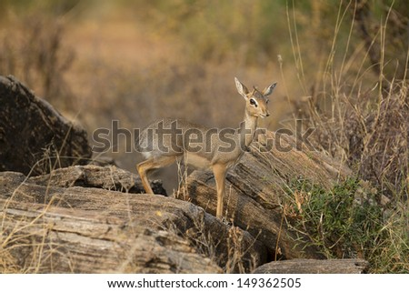 Dik-dik ewe on rocks - stock photo