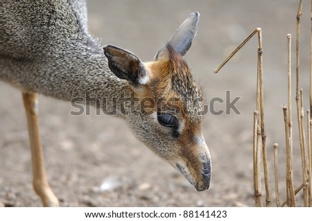 Dik Dik Grazing - stock photo
