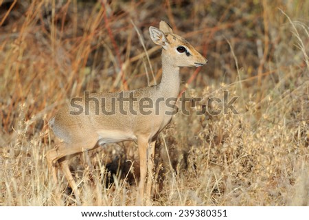 Dik-dik in the National Reserve of Africa, Kenya - stock photo