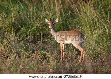 Dik Dik in the savanna of Kenya - stock photo