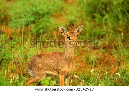 Dik Dik in the wild. Africa. Kenya. Samburu national park. - stock photo