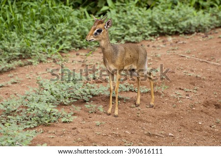 Dik Dik on Path - stock photo