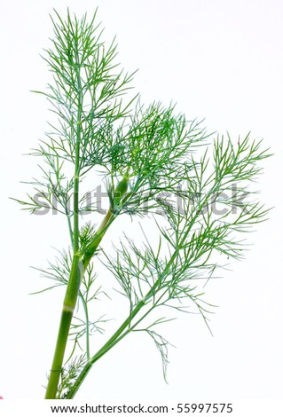 Dill (Anethum graveolens) Fresh and dried dill leaves are used as herbs. - stock photo