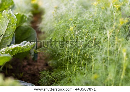 Dill beds in the farmer's garden, vegetable  beds in the farmerâ??s farmland,  ecological agriculture for producing healthy food  concept - stock photo