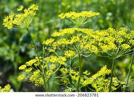 Dill branches with flowers in the garden - stock photo