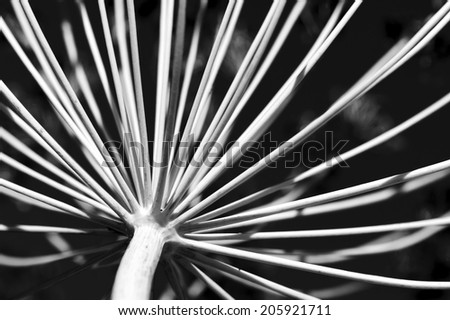 Dill flower in black and white