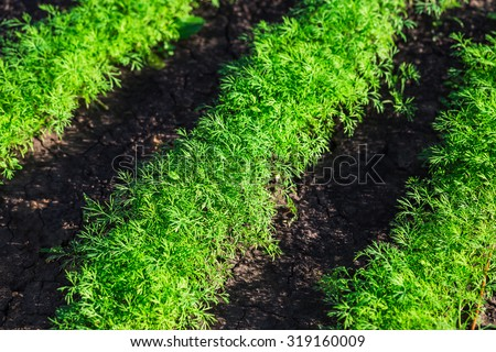 Dill herb growing in the garden for background use - stock photo