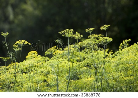 Dill in the garden - stock photo
