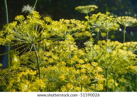 Dill in the morning #1 - stock photo