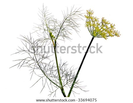 dill on white background - stock photo