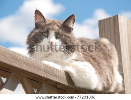Diluted calico cat resting on railing, looking at the viewer - stock photo