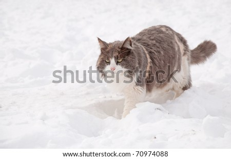 Diluted calico cat walking in deep snow on a bright, cold winter day