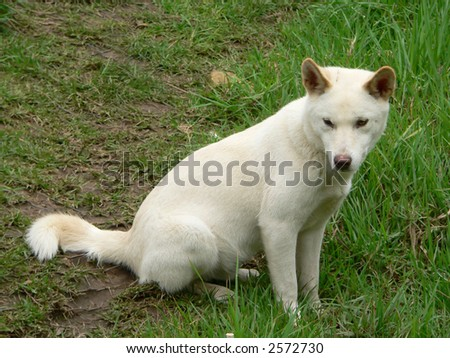 dingo - stock photo
