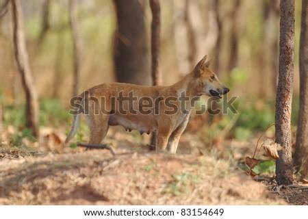 Dingo in Kakadu National Park - stock photo