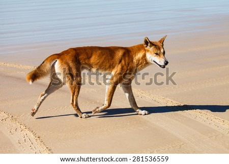 dingo is endangered in australia - stock photo
