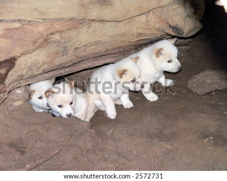 dingo pups four weeks old - stock photo
