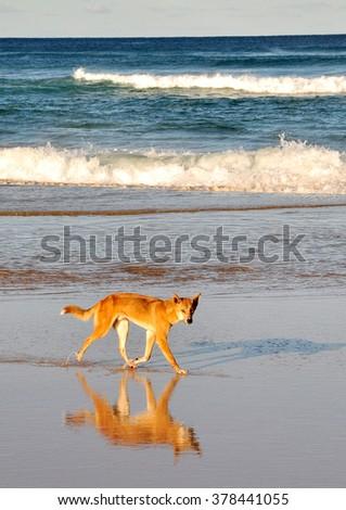 Dingo times - stock photo