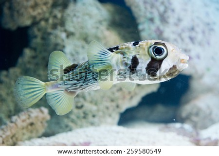 Diodon hystrix - spot-fin porcupinefish - stock photo