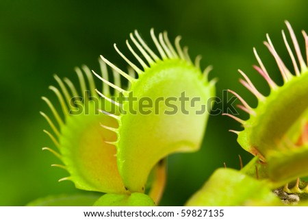 Dionaea muscipula , known as flytrap, in closeup, isolated on nature  background - stock photo