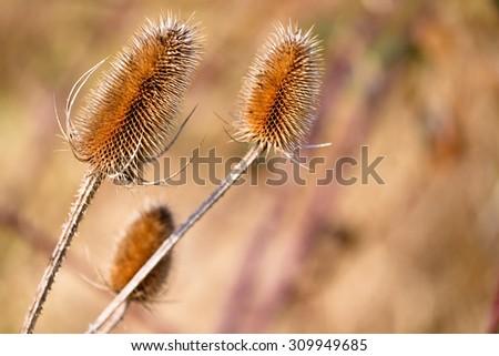 Dipsacus fullonum - stock photo