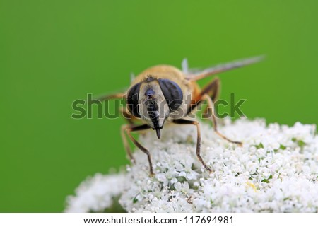 diptera syrphidae insects on the flowers, take photos in the natural wild state, Luannan County, Hebei Province, China.