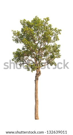 Dipterocapus Intricatus, tropical tree in the northeast of Thailand isolated on white background