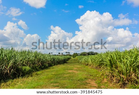Dirt road through the sugar cane plantation in the Dominican Republic
