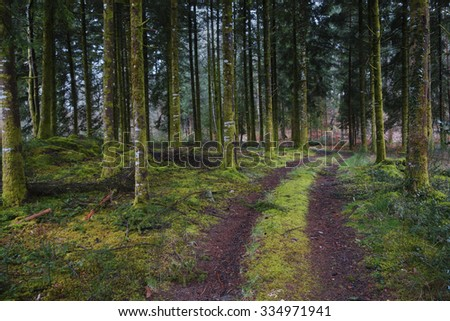 Dirt track going through a mysterious dark pine forest with lush green moss covering the tree trunks. - stock photo