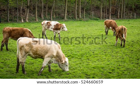 Dirty cow. Cows grazing on a green field
