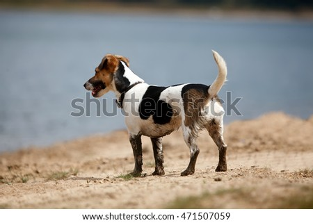 dirty  cute small jack russell near lake in nature, dog legs covered with mud