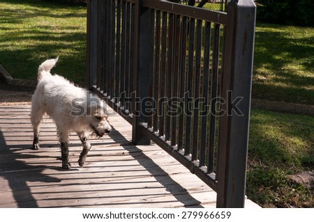 Dirty dog after running into muddy pond walking under the sun over a wooden bridge - stock photo