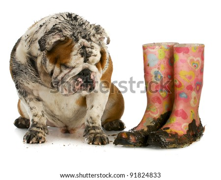 dirty dog and muddy boots - english bulldog sitting beside rubber boots on white background - stock photo