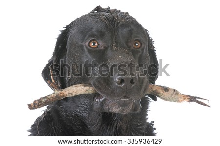 dirty dog with a stick in his mouth on white background - stock photo