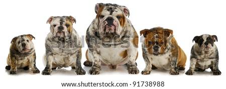 dirty dogs - five muddy english bulldogs - stock photo