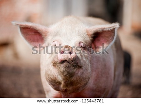 dirty face of the pig