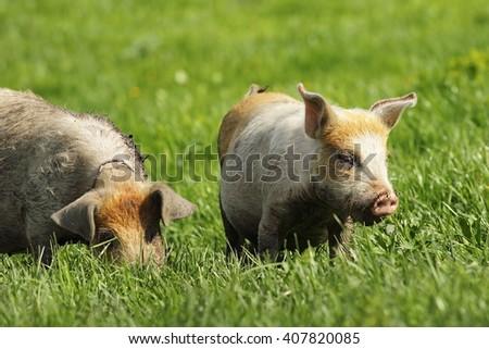 dirty feral pigs grazing on green lawn near the bio farm - stock photo