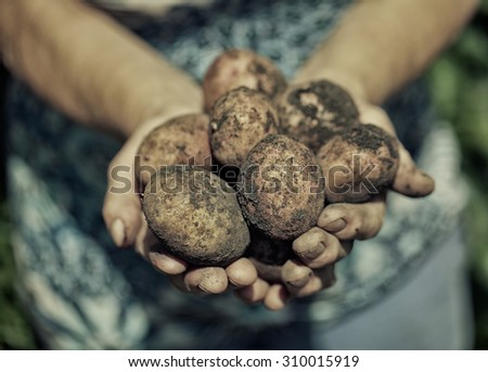 Dirty hands holding fresh out of the ground potatoes  - stock photo