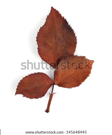 Dirty leaves rose wilt on white background  - stock photo