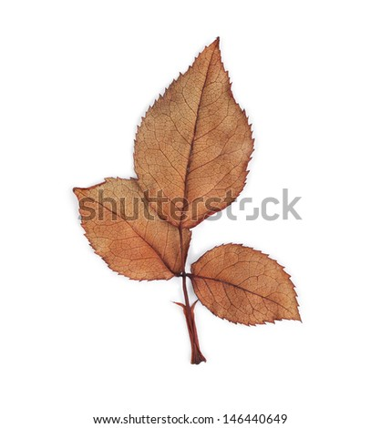Dirty leaves rose wilt on white background