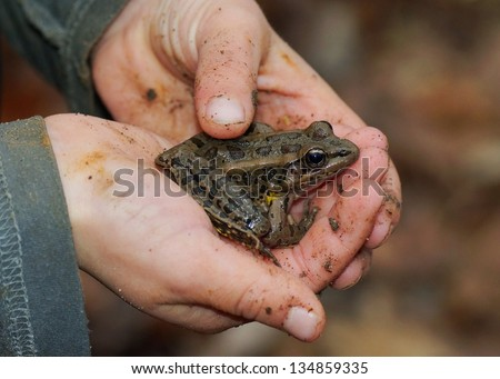 Dirty, muddy hands of a young boy holding a frog, Lithobates palustris