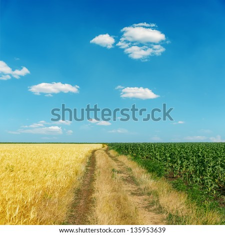 dirty road between gold and green fields under blue sky - stock photo